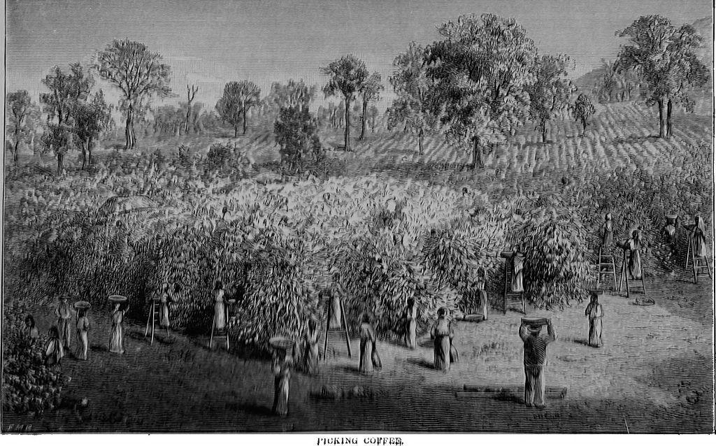 плантация кофе древнее фото