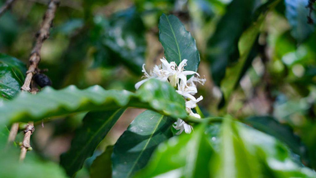 первые цветочки кофе