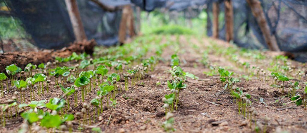 посадка саженцев кофейного дерева в питомнике