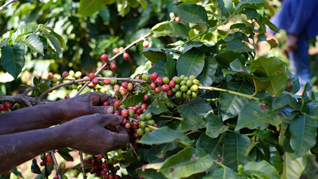кофейные плоды