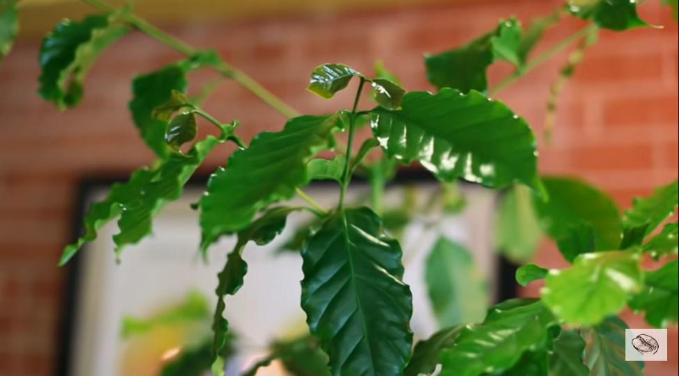 листья кофе