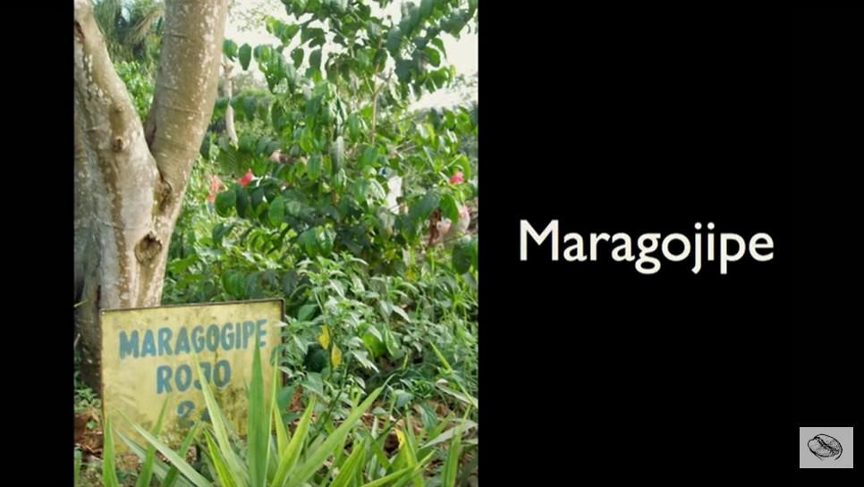 марагоджип