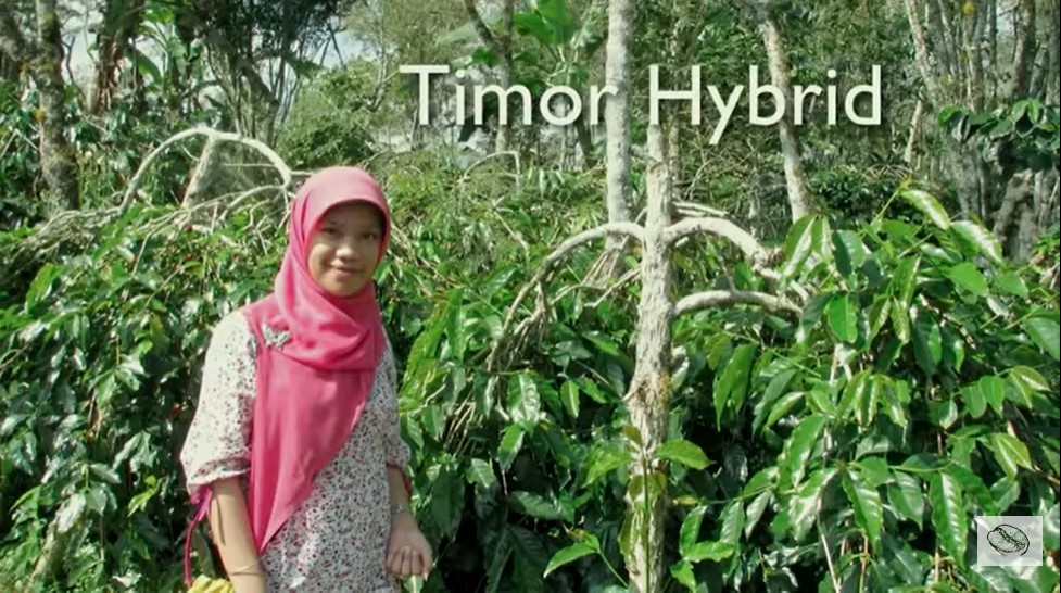 тиморский гибрид