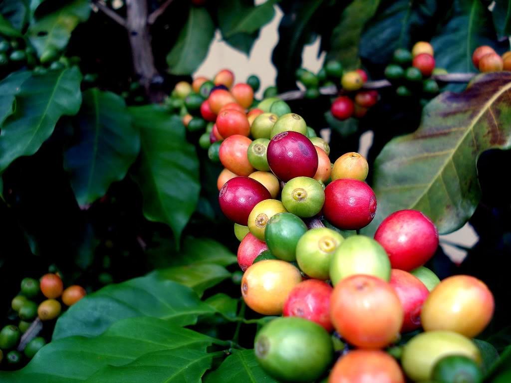 кофейные вишни