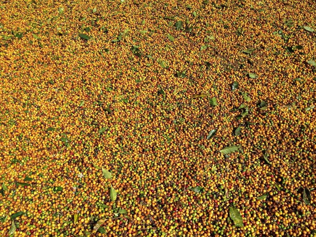 зерна желтые